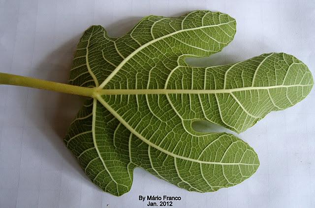 Detalhre folhas Página (face) inferior