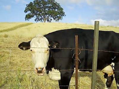 Cow in Paso Robles,  © B. Radisavljevic
