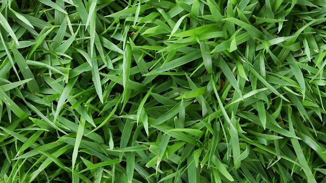 rumput manila