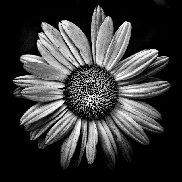Backyard Flowers In Black And White 13 by The Learning Curve Photography