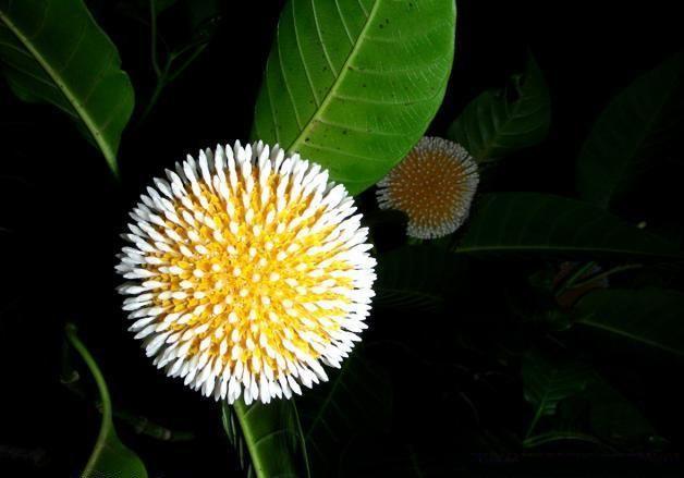 wallpaper  kadam flower  u0026quot beauty of nature u0026quot