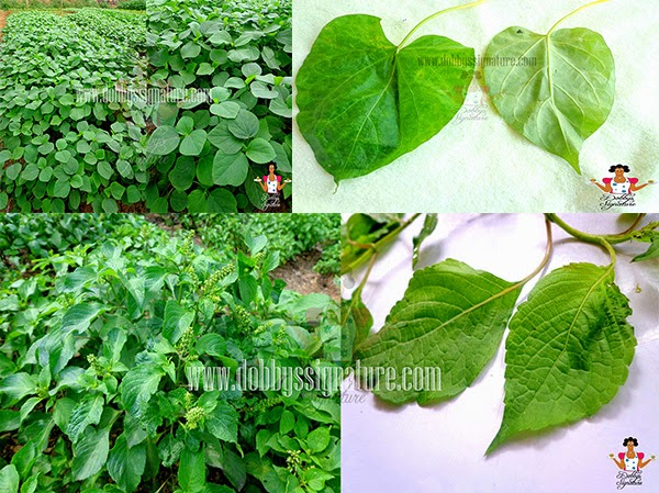 Indigenous leafy vegetables and herbs found in Nigeria
