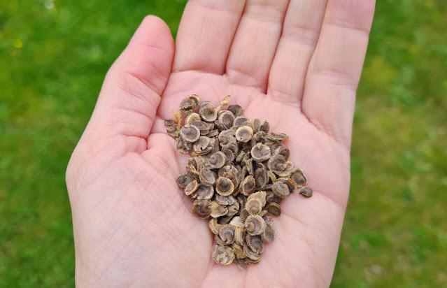 Anleitung: Stockrosen-Samen ernten & Stockrosen aus Samen ziehen. In meinem Garten-DIY erkläre ich,wie Ihr aus Stockrosensamen, die Ihr im Garten, in Töpfen oder Kübeln aussät, kinderleicht neue Stockrosen ziehen könnt.