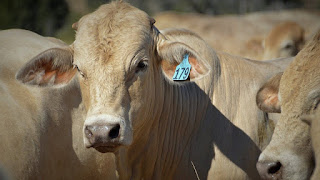 Charbray Cattle Pros and Cons, Facts, Price