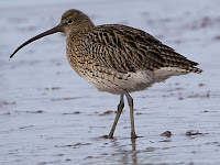 Curlew Bird Animal Pictures