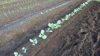 種がこぼれて自然に生えてきた茎立菜を畝に移植