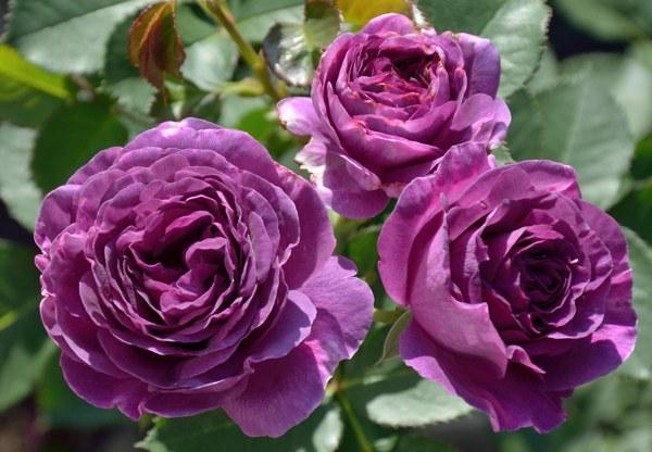 Minerva сорт розы фото Минск саженцы купить