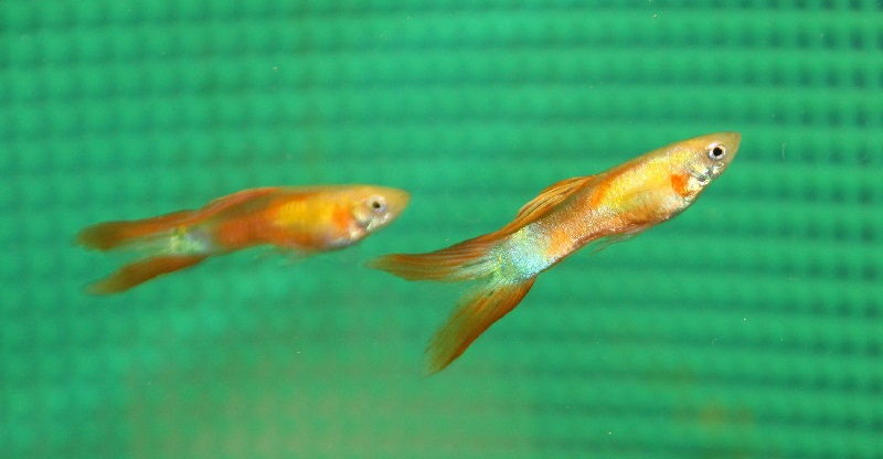 Gambar Ikan Guppy Double Swordtail Male