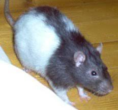 New-Kahani-चूहे की-टोपी