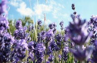 Foto Bunga Lavender Ungu yang Indah 7
