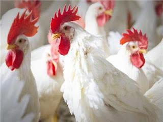 تفسير مشاهدة الدجاجة في المنام