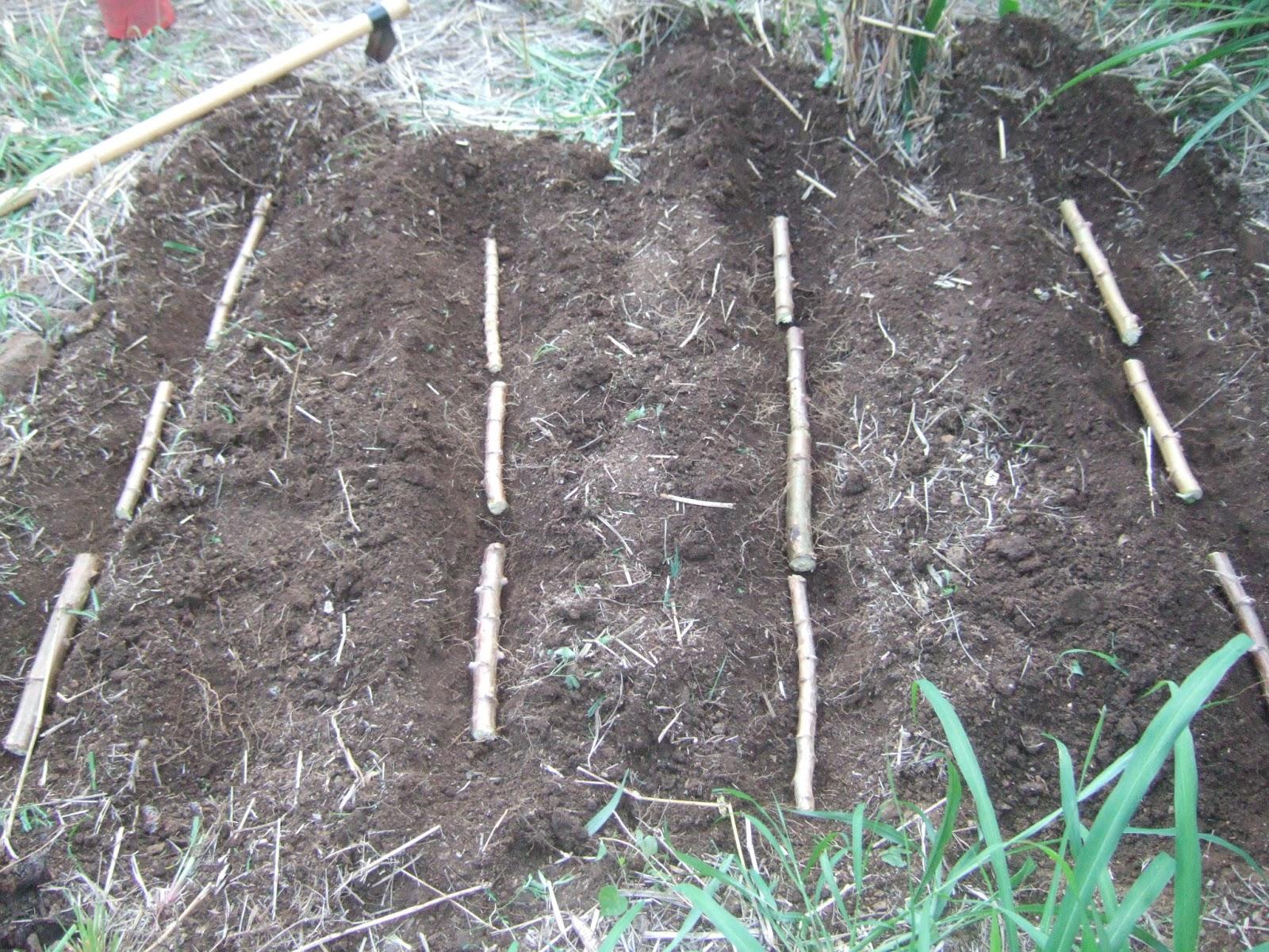 potagers en libert l 39 le maurice manioc pas manioc. Black Bedroom Furniture Sets. Home Design Ideas