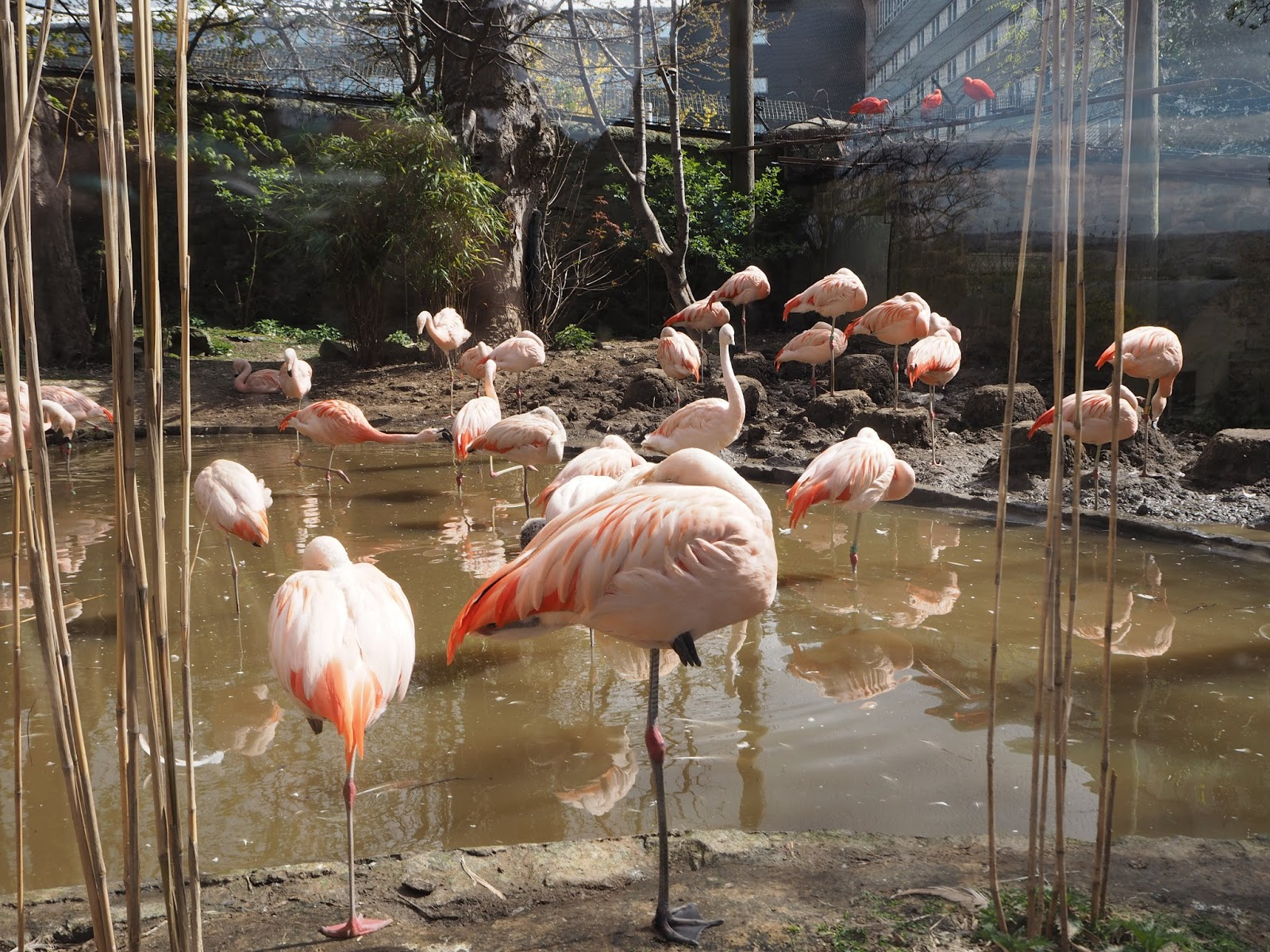 edinburgh zoo flamingo