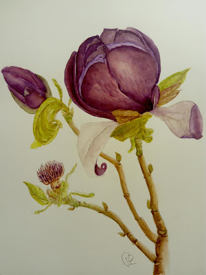 watercolour painting of magnolia contemporary botanical art