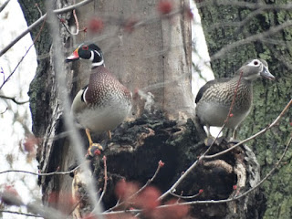 A woodduck couple