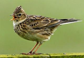 3 Tps Dan Proses Perawatan Burung Branjangan Supaya Gacor Setiap Hari