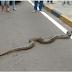 """Vídeo: Cobra de cinco metros é flagrada """"atravessando"""" a rua"""