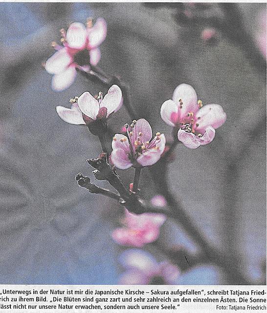 Sakura,Macroshot,Tatjana Friedrich