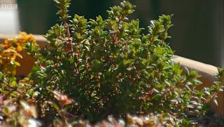 Gardeners' World Thyme Jekkas Red Eye