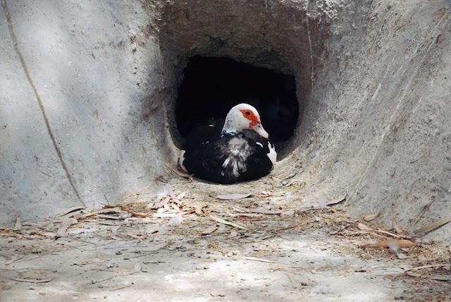 duck - Parque Reina Sofia, Guardamar del Segura, Costa Blanca