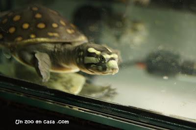 Lissemys punctata - Tortuga india de caparazón blando