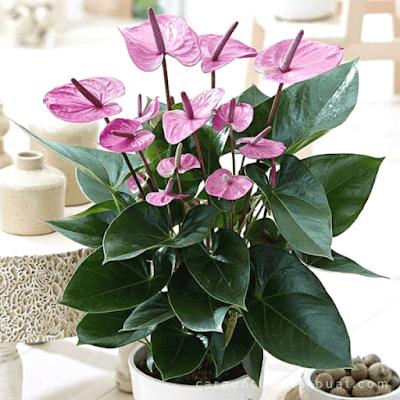 Bunga Anthurium