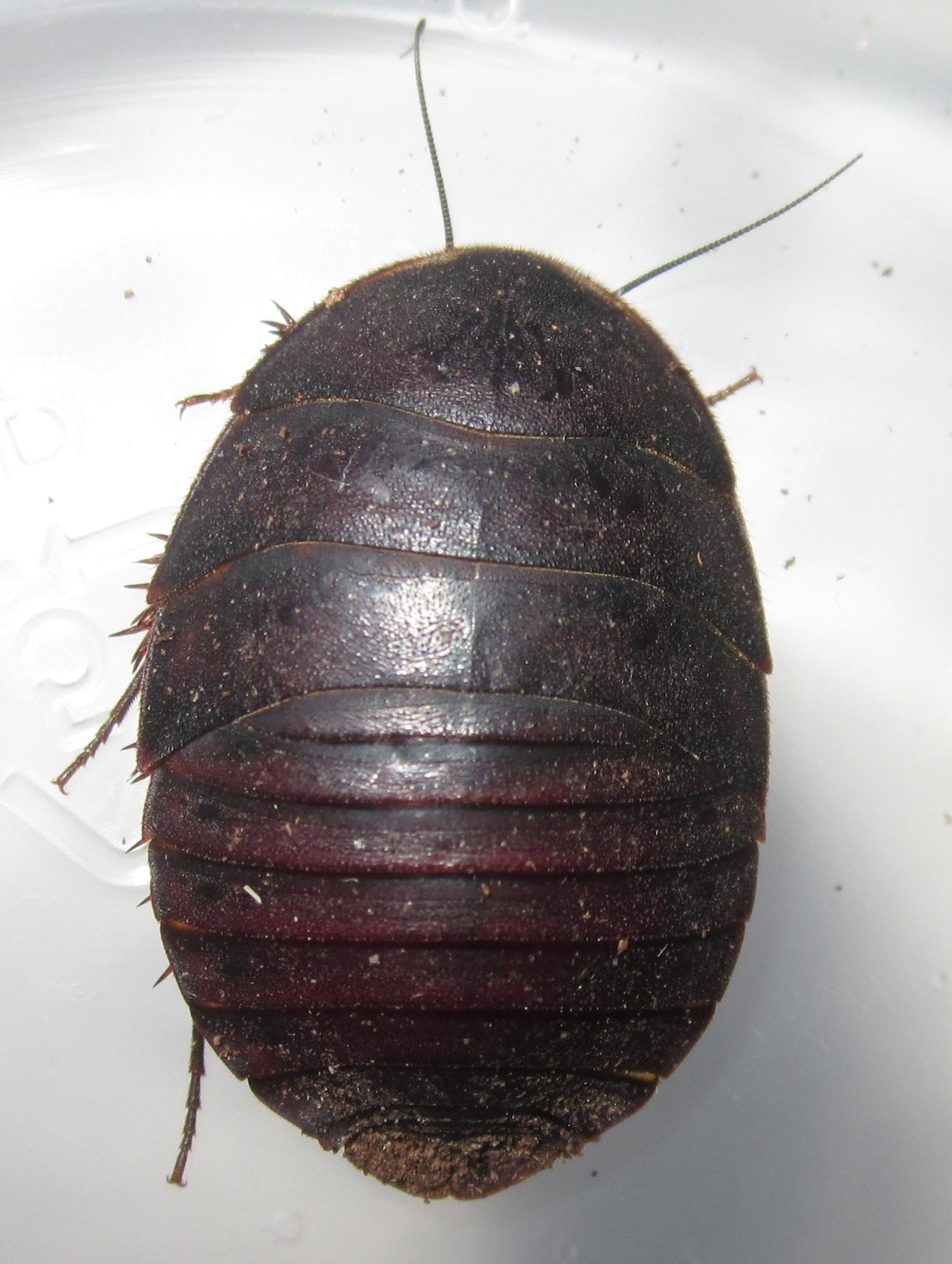 A.bollianaDelRioFemale%25239.JPG