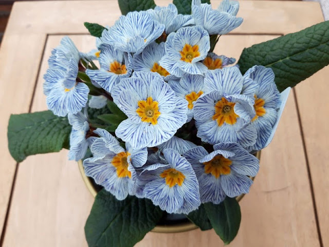 Image shows a primula plant with unusual blue and white striped flowers
