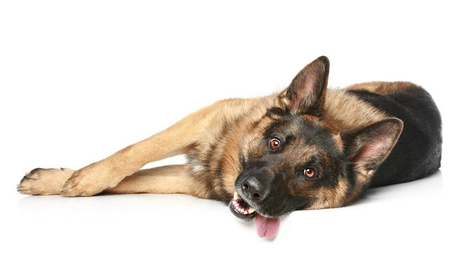Signs that indicate your GSD is in the heat