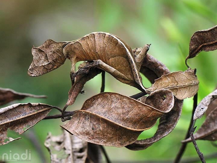 Satanic Leaf-Tailed Gecko si hewan yang bisa menyamar