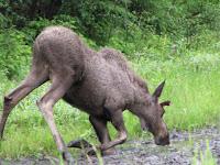 Een elandkalf naast de baan. De moeder is niet ver weg.