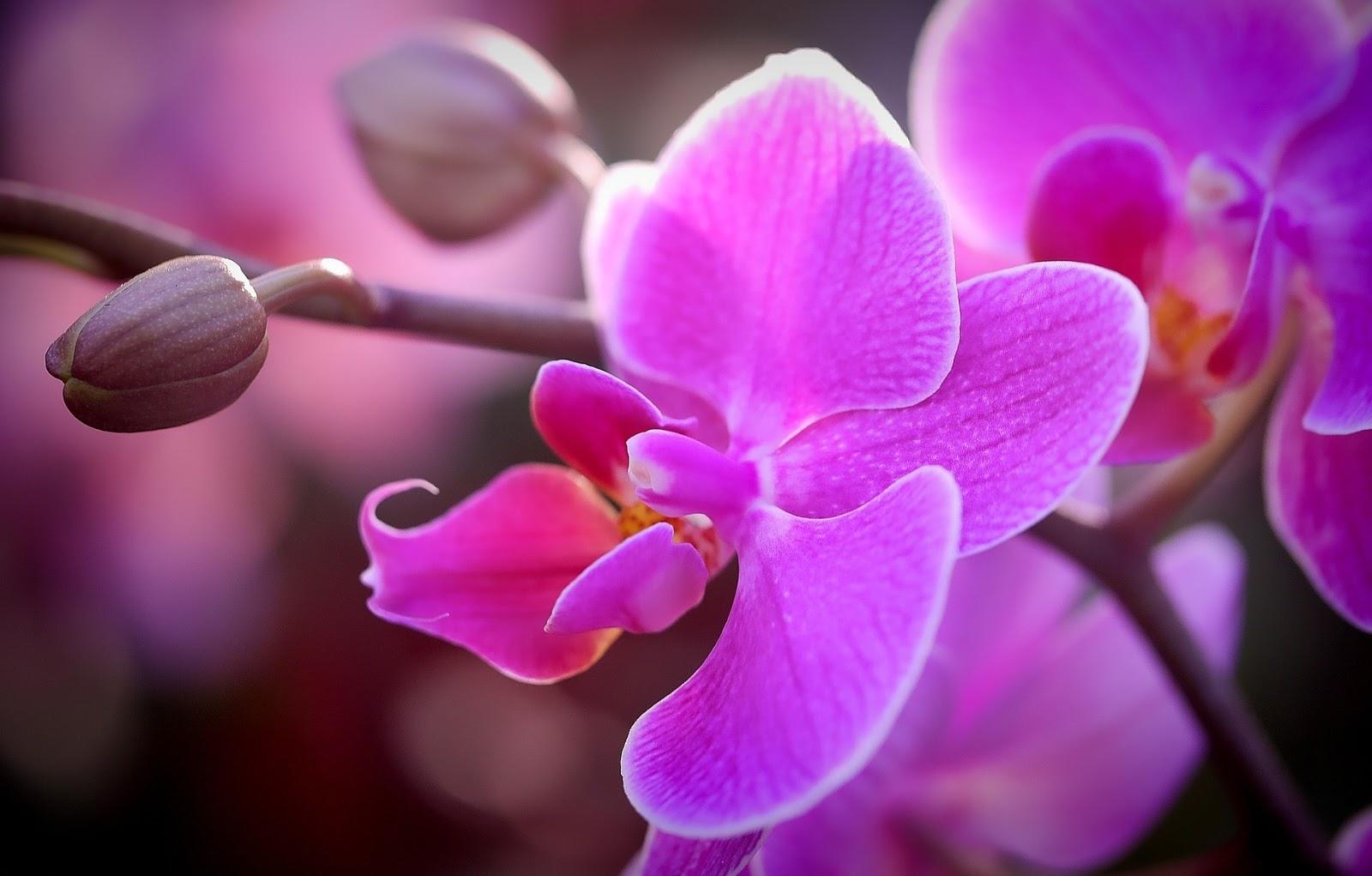 gambar bung anggrek ungu