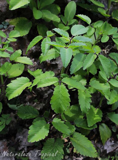 La Hierba Bruja o Siempreviva, Kalanchoe pinnata o Bryophyllum pinnatum