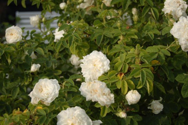 romantische rozentuin, ouderwetse rozen