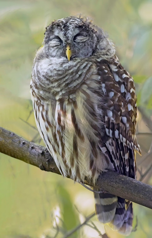 A beautiful barred owl is sleeping on a branch. One eye is just barely open..