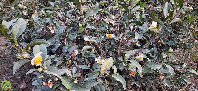 Tea Plants in Dehradun