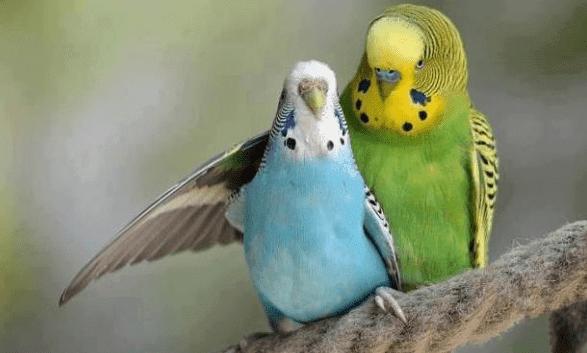 harga burung parkit