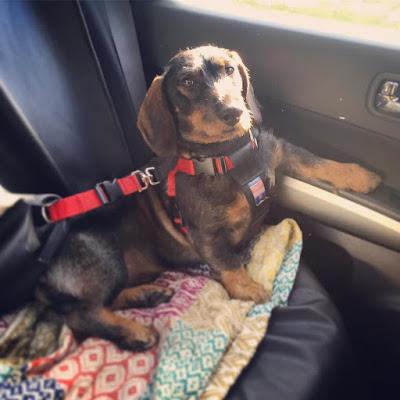 mäyräkoira, takapenkki, koiran turvavyö