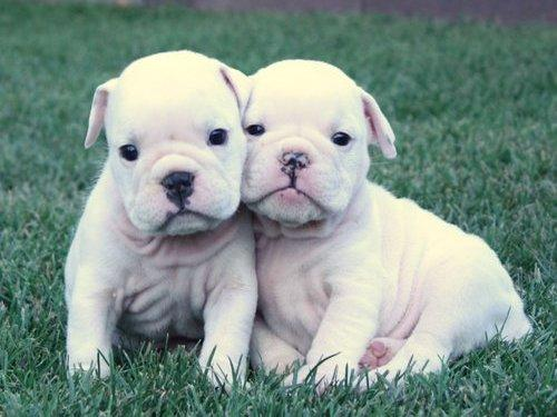 Cute Puppy Dogs: english bulldog puppies for sale