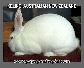 kelinci jenis australian new zealand