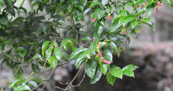 Pohon Maple Lokal