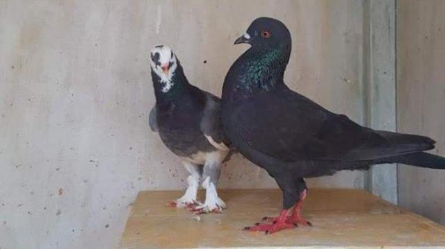 Manise Burung Merpati yang Hilang Disayembarakan Rp30 Juta itu Pulang Kandang