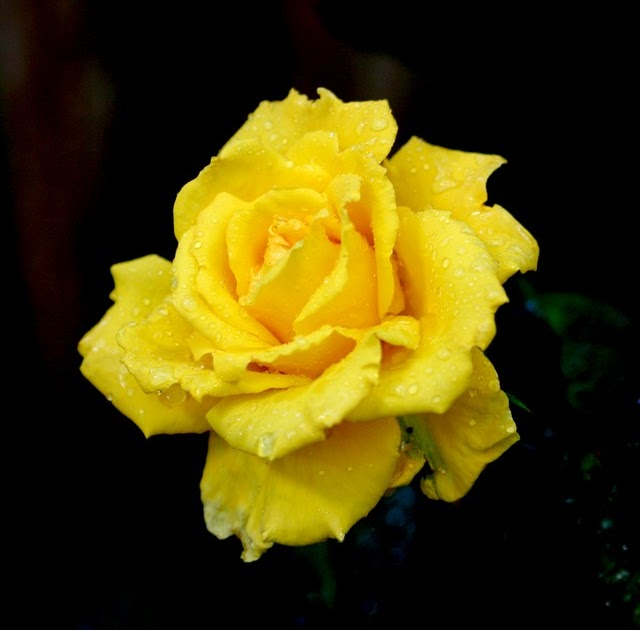 ALL GOD WALLPAPERS: YELLOW ROSE WITH BLACK BACKGROUND