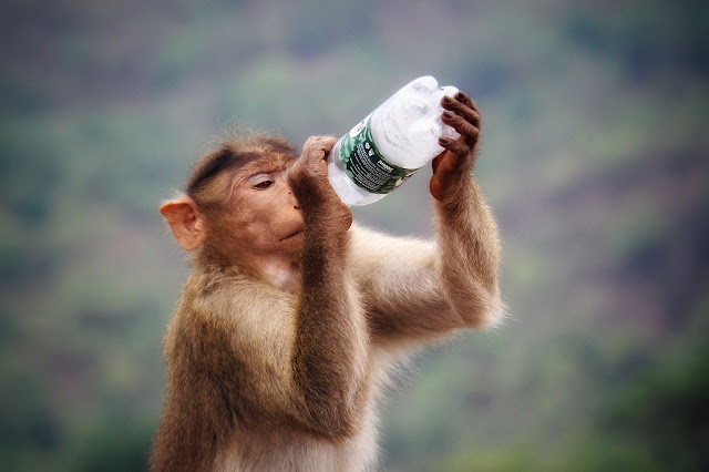Monkey drinking water with botttel image