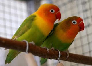 perbedaan lovebird jantan dan betina saat birahi,lovebird jantan atau betina untuk lomba,perbedaan lovebird jantan dan betina anakan,perbedaan lovebird pastel kuning dan lutino,