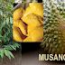 6 Sebab Anda Disyorkan Menanam Durian Musang King (D197)