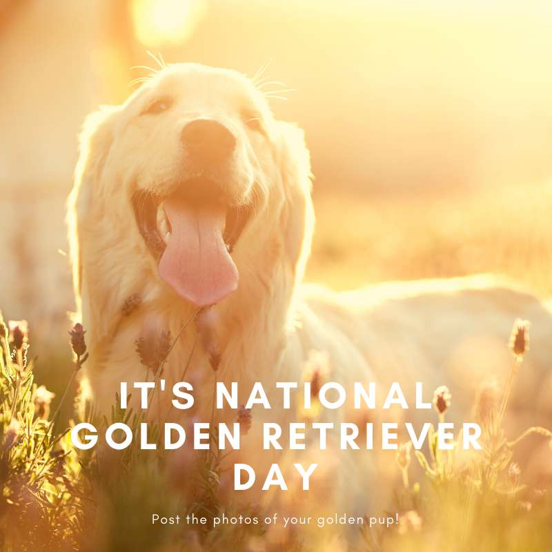 National Golden Retriever Day Wishes Unique Image