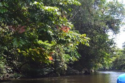 Pohon tumbuh subur dan hijau di tepi sungai