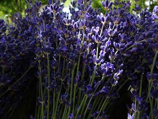 Stalks of sunlit lavender