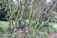 'Ohi'a tree trunks - Lyon Arboretum, Manoa Valley, Oahu, HI